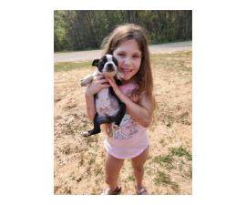 2 males boston terrier puppies for rehoming