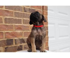 One female English Mastiff puppy looking for great home