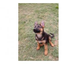 1 girl pure bred German Shepherd puppy
