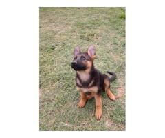 1 girl pure bred German Shepherd puppy