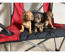 Sweet little Dachshund puppies looking for a new home