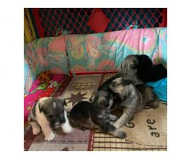 Four CKC Mini schnauzers puppies available