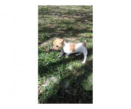 Lovely baby Jack Russell female puppy