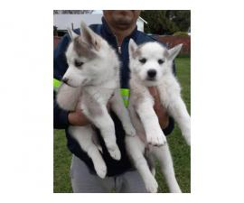1 female blue eyes Husky puppies available