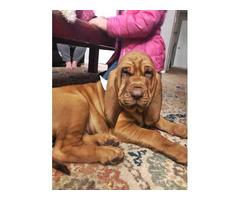 14 weeks old AKC Bloodhound Puppy