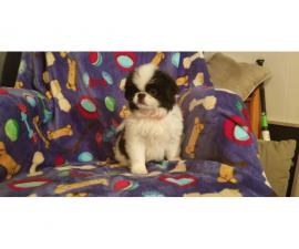 10 week old AKC reg. Japanese chin puppies