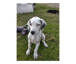 Beautiful Great Dane Puppies need of a loving home