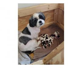 3 boys Shih Tzu puppies for rehoming