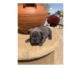 9 weeks old blue French bulldog puppies for sale