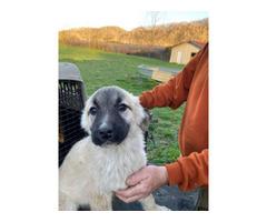 8 Week old Anatolian shepherds
