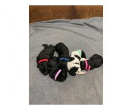 Standard poodle puppies for rehoming