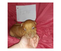 Litter of 11 ADBA reg. pit bull puppies for sale
