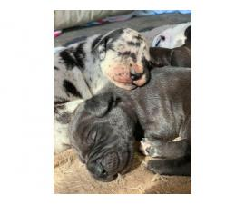 Purebred Great Dane puppies ready for re-homing