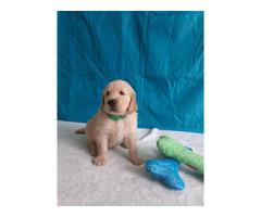 2 Lovely golden retriever puppy need good home
