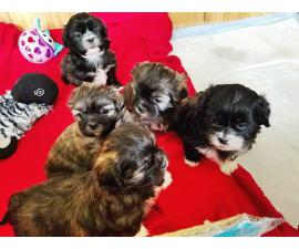 Five Shih tzu puppies available to be rehomed