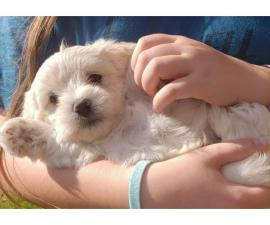4 Coton de Tulear puppies for Adoption