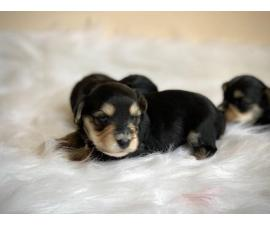 2 boys and 1 girl Morkie babies for rehoming