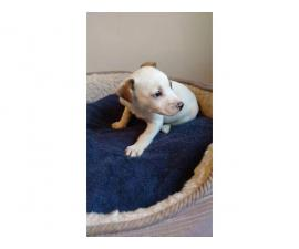 Cute Jack Russell puppy need a good home