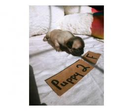 6 Beautiful healthy Pug puppies available