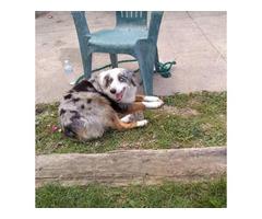 5 Aussiedoodles left