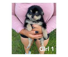 4 Pomeranian puppies available
