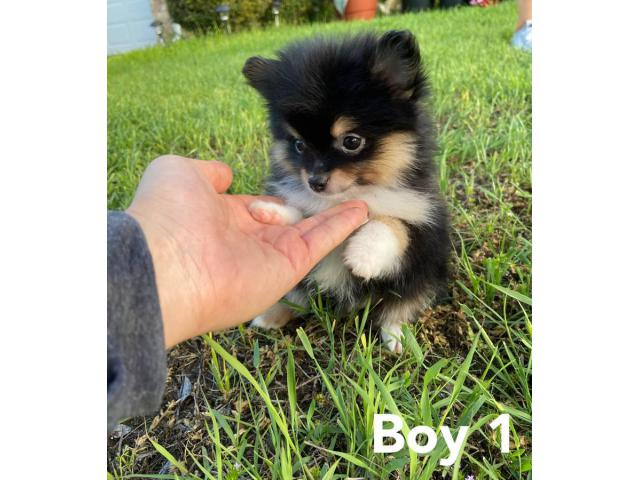 4 Pomeranian Puppies Available In Dallas Texas Puppies