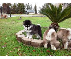 Pretty AKC Alaskan malamute puppies