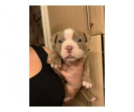 Champion bloodlines American bully puppies