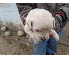 Mini black and tan long-haireddachshund puppies
