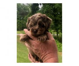 Purebred male German short haired pointer puppy for sale