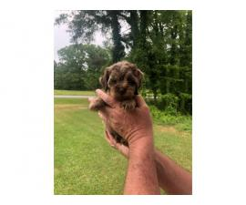 Beautiful Merle Cockapoo Puppies for rehoming