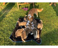 AKC Registered Welsh Pembrokeshire Corgi Puppies for sale