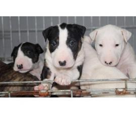 Fantastic Quality Bull Terrier Pups. Baer Tested