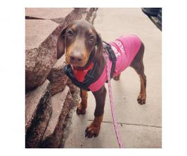 Very sweet Female Red Doberman Pinscher Puppy