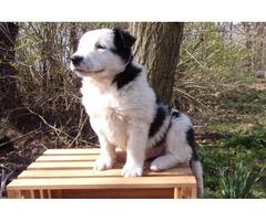 One boyEnglish Shepherd Puppy