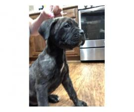 8 weeks old Registered Cane Corso puppy ready to go