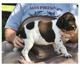 Liver and white German Shorthaired pointer puppies