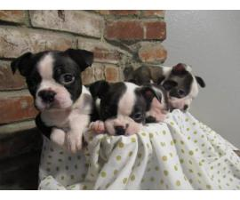 4 Girl Boston Terrier Puppies need good home
