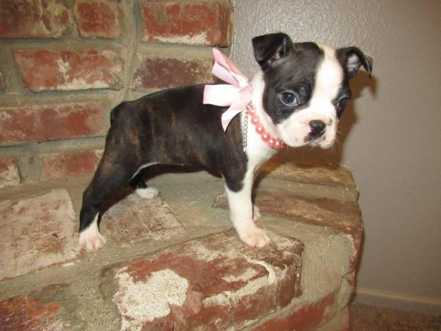 4 Girl Boston Terrier Puppies Need Good Home In Burbank California Puppies For Sale Near Me