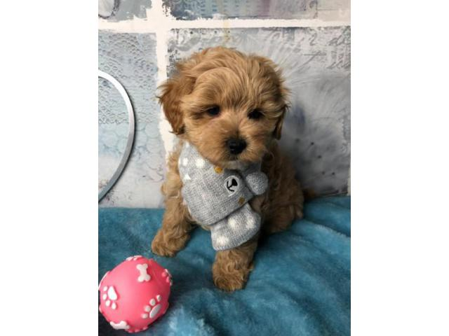 Outstanding Health Tested Maltipoo Puppies ready for new ...