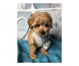Outstanding Health Tested Maltipoo Puppies ready for new home