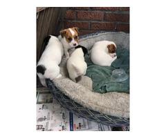 Black,white & brown Jack Russell Terriers