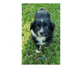 5 purebred Aussie puppies waiting for their new home