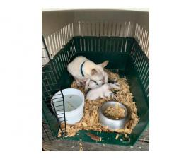 White Rat terrier puppies rehoming