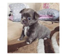 Four Long-haired Chihuahua puppies available