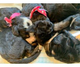 Bernese Mountain Dog / poodle puppies for rehoming