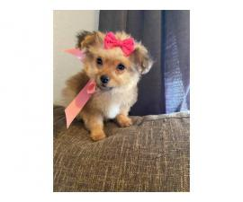 One fabulous Pomapoo puppy left