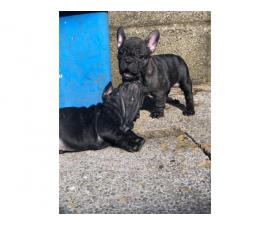 Only 2 Girls Left. French Bulldog Pups