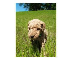 Lightapricot Standard Poodles for sale