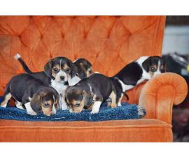 A pretty litter of beagle puppies